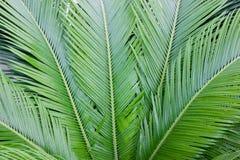 Palmbladenachtergrond Tropische Textuur Sluit omhoog Stock Afbeelding