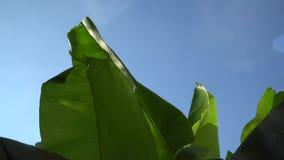 Palmbladeren met wind, natuurlijke achtergrond stock videobeelden