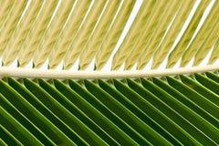 Palmbladmacro Royalty-vrije Stock Afbeeldingen