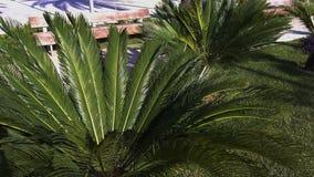 Palmbladslingeringen in de wind op een heldere zonnige de zomerdag stock footage