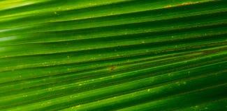 Palmbladtextur Royaltyfria Bilder