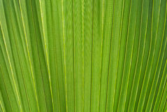 Palmbladtextuur Stock Afbeelding