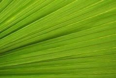 Palmbladtextuur Royalty-vrije Stock Afbeeldingen