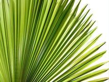 Palmblathintergrund Lizenzfreie Stockfotos