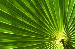 Palmblatt Lizenzfreie Stockfotografie
