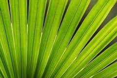 Palmblatt Stockbild