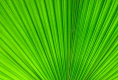Palmblatt lizenzfreies stockfoto