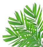 Palmblatt getrennt Lizenzfreies Stockfoto