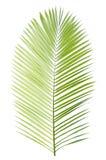 Palmblatt getrennt Stockbild