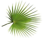 Palmblatt getrennt auf weißem Hintergrund Lizenzfreies Stockfoto
