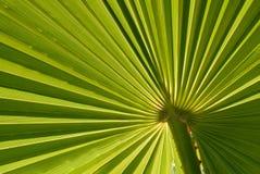 Palmblatt-Hintergrund Lizenzfreie Stockfotografie