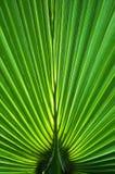 Palmblattnahaufnahme Stockfoto