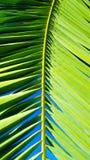 Palmblattwedel des klaren Grüns stellte gegen einen klaren blauen Himmel ein Lizenzfreies Stockbild
