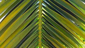 Palmblattwedel des klaren Grüns stellte gegen einen klaren blauen Himmel ein Stockbilder