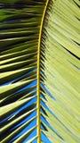 Palmblattwedel des klaren Grüns stellte gegen einen klaren blauen Himmel ein Lizenzfreie Stockbilder