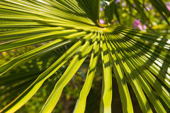 Palmboombast Royalty Free Stock Photos