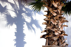 Palmboomstam Stock Foto