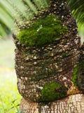 Palmboomstam en mos Stock Afbeelding