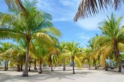 Palmbos op het strand Stock Afbeeldingen