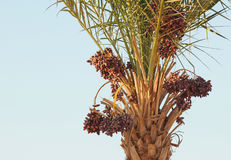 Palme in Ägypten stockbild