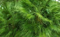 palme Fotografia Stock
