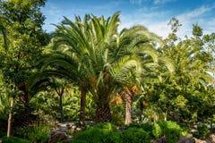 Palme al parco di Drago, Tenerife Immagini Stock