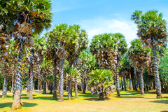 Palme al parco nazionale, Koh Lanta, Tailandia immagini stock