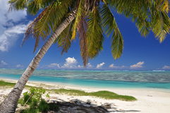 Palme auf Aitutaki - Koch-Inseln stockfotografie