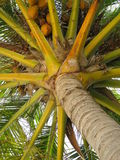 Palme auf dem Strand mit Kokosnuss Stockbild