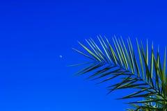 Palme auf einem Hintergrund des blauen Himmels und des jungen Mondes Stockfotos