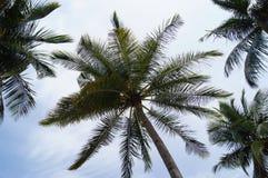Palme auf Himmelhintergrund Stockfotos