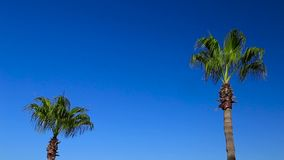 Palme auf Hintergrund des blauen Himmels stock video