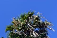 Palme auf Hintergrund des blauen Himmels stockfotografie