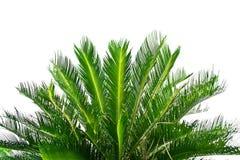 Palme auf weißem Hintergrund lizenzfreie stockfotos