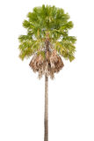 Palme auf weißem Hintergrund Lizenzfreie Stockbilder