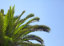 Palme-Baum Lizenzfreie Stockbilder