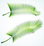 Palme branch. Palme vector green branch, tree leaves vector illustration