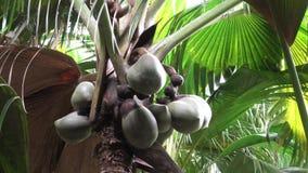 Palme Coco de Mer bei Valee de Mai stock video