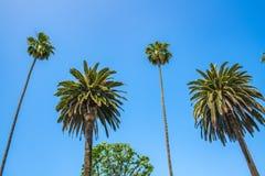 Palme con cielo blu in Beverly Hills Fotografia Stock Libera da Diritti