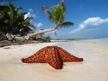 Palme con la noce di cocco e le stelle marine Immagini Stock