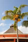 Palme con le noci di cocco. fotografia stock
