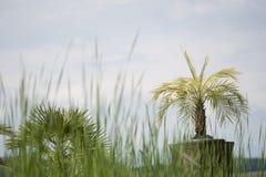 Palme conservate in vaso del fan fotografie stock