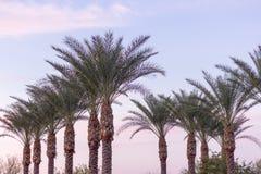 Palme da datteri dell'Arizona Immagine Stock Libera da Diritti