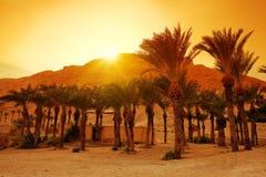 Palme da datteri vicino alla fortezza di Masada Fotografie Stock