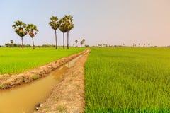Palme della palma da zucchero e della risaia o del toddy sulla diga della risaia, nazionale Immagini Stock