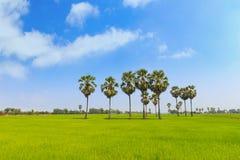 Palme della palma da zucchero e della risaia o del toddy sulla diga della risaia, nazionale Immagine Stock Libera da Diritti