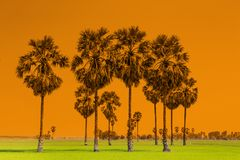 Palme della palma da zucchero e della risaia o del toddy sulla diga della risaia, nazionale Immagini Stock Libere da Diritti