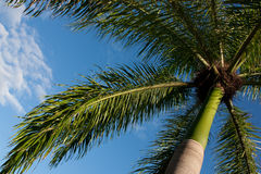 Palme in der Dominikanischen Republik Lizenzfreies Stockfoto