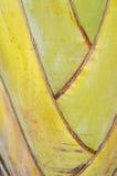 Palme des Reisenden Stockbild