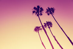 Palme di California al tramonto Fotografia Stock Libera da Diritti
